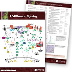 T-Cell Receptor Signaling