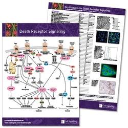 Death Receptor Signaling Pathway
