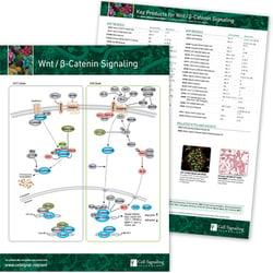 WNT / β-Catenin Signaling Pathway