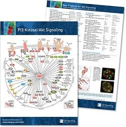 PI3 Kinase Akt Signaling Pathway