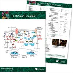 TGF-β / Smad Signaling Pathway