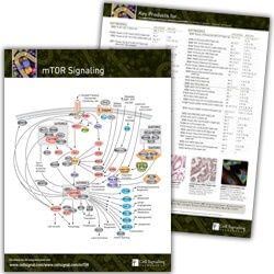 mTOR Signaling Pathway