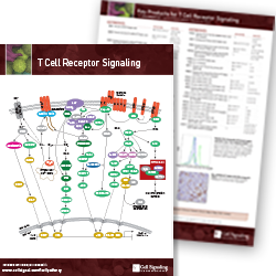 T Cell Receptor Signaling