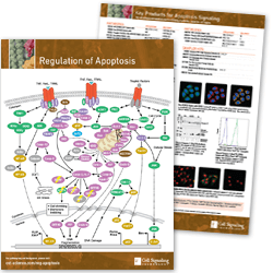 Regulation of Apoptosis Pathway