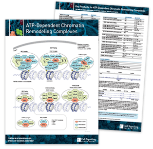 ATP-Dependent Chromatin Remodeling Pathway