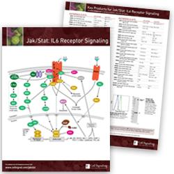 Jak/Stat: IL-6 Receptor Signaling