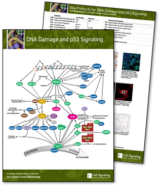 DNA Damage and p53 Signaling